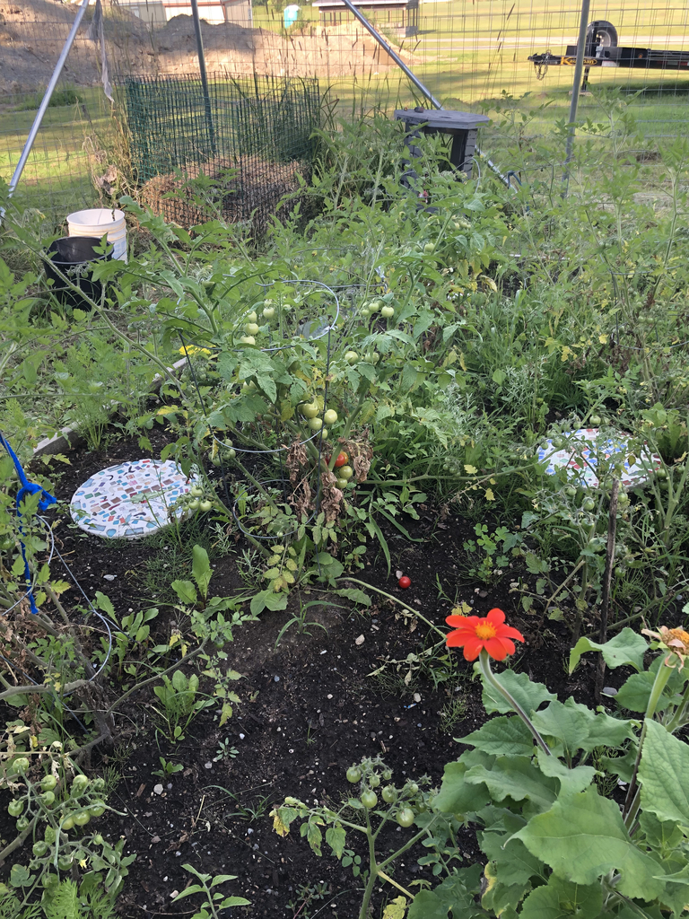 The tomatoes are plentiful.